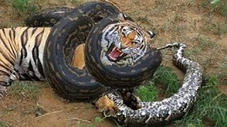 Leopard vs python. Tiger, jaguar, black panther vs anaconda!