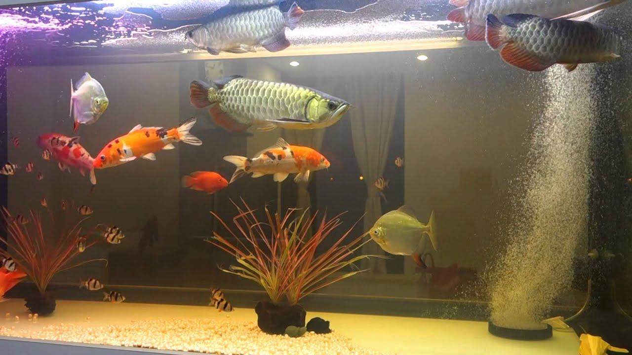 Arowana with pearl koi red parrot hook tiger barb aquarium for Koi aquarium