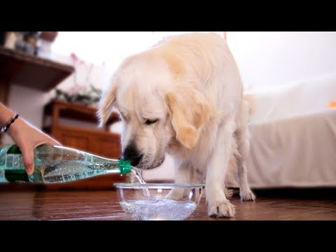Dog Tries To Drink Seltzer Water [WITH FUNNY COMMENTS]