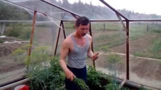 Опыление томатов в теплицах(Частые ошибки допускают садоводы при выращивании томатов в теплицах. Этой ошибкой является чрезмерный..., 2016-06-13T19:15:28.000Z)