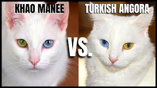 Khao Manee Cat VS. Turkish Angora Cat