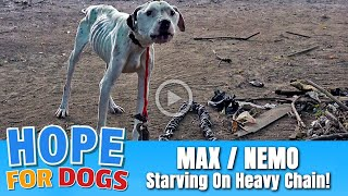 Pit Bull Starved on Heavy Chain Rescued By Hope & Detroit Pit Crew - Max Update