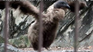 Cute!! Practice to fly the Andean condor chick.アンデスコンドルのヒナの可愛い飛ぶ練習。