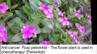 Anti-cancer: Rosy periwinkle - This flower plant is used in chemotherapy! (Periwinkle)