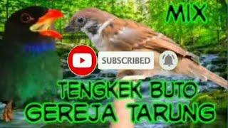 Download Lagu Mix Tengkek Buto Dan Gereja Tarung Dengan Suara Air Gemercik MP3
