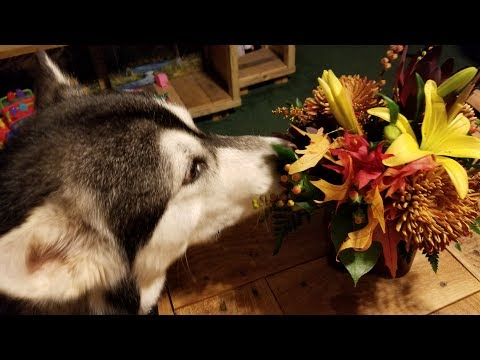 Malamute Stops To Smell The Roses!!
