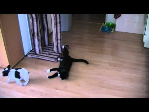 Ninja Cat vs French Bulldog puppy