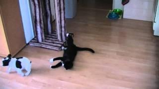 Ninja Cat vs French Bulldog puppy