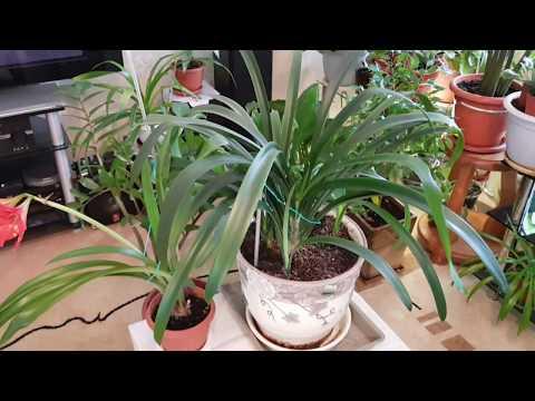 Домашние растения. Кливия Киноварная. Пересадка с разделением деток.