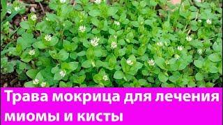 Трава  мокрица для лечения миомы и кисты. Лечебные свойства, применение, противопоказания