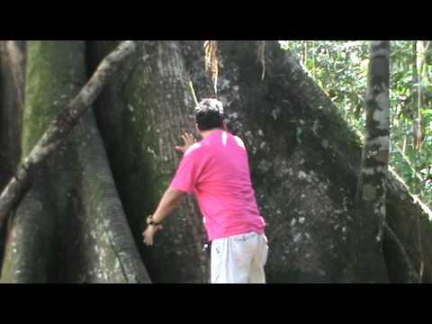 Ovnis Tv Huanuco Arbol Gigante En Aucayacu Huanuco Peru