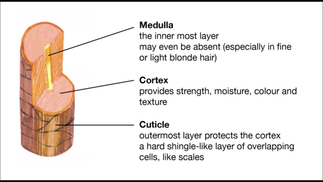 Hair Growth Cuticle Cortex And Medulla