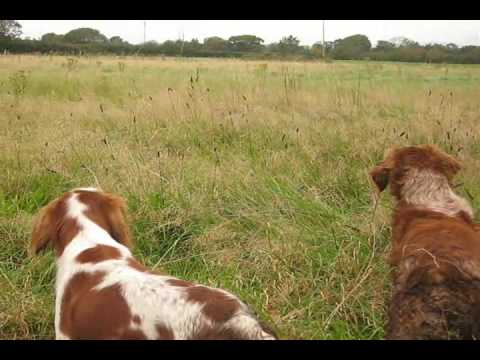 Brittany Gun Dogs co Cork Ireland