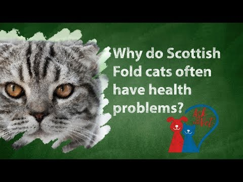 Ask the vet: Why do Scottish Fold cats often have health problems?