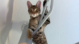 Savannah Cat Climbing And Having Fun On His Cat Tree! #cute #cat #video
