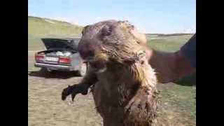 Как кричит сурок / How marmot screams