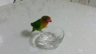 Cennet papağanı ''QEŞMER'' xwe dişo