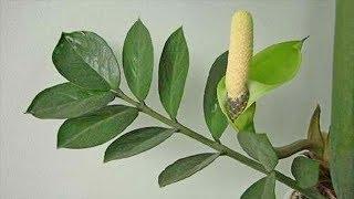 Когда и Как цветёт Замиокулькас. К чему цветет Долларовое дерево?