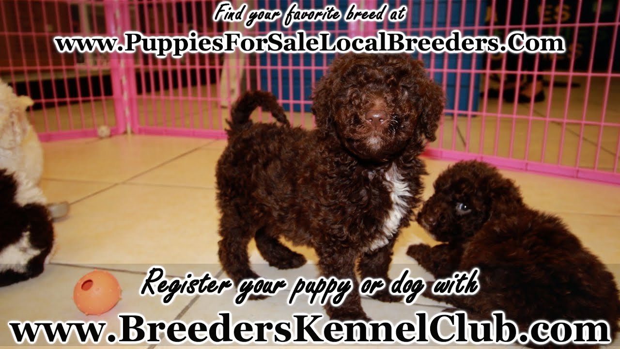 Goldendoodle, Puppies For Sale, In Saint Petersburg, County, Florida, FL,  19Breeders, Hialeah