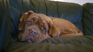 Tired Dogue de Bordeaux Puppy having a tantrum ❤ French Mastiff, sleep puppy.