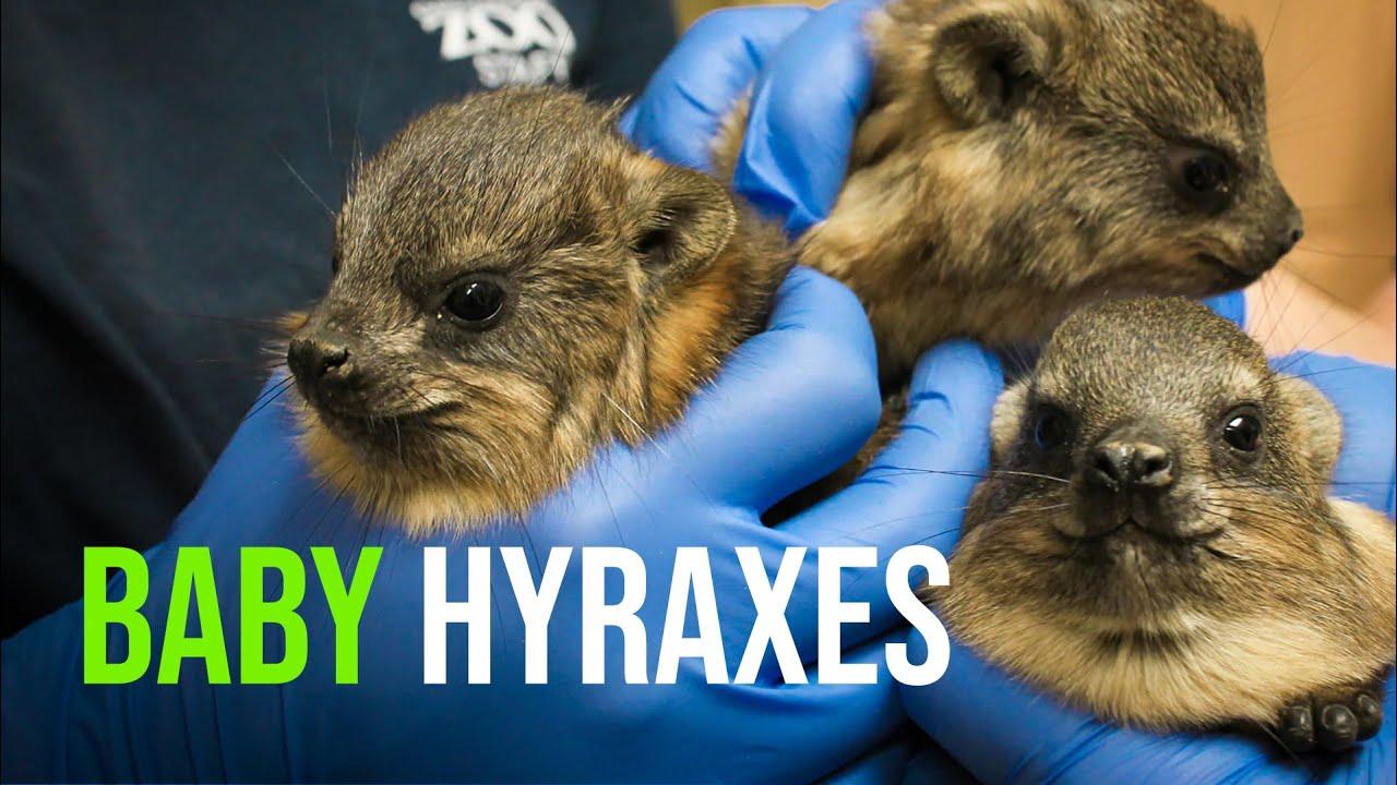 Hyrax Zooborns