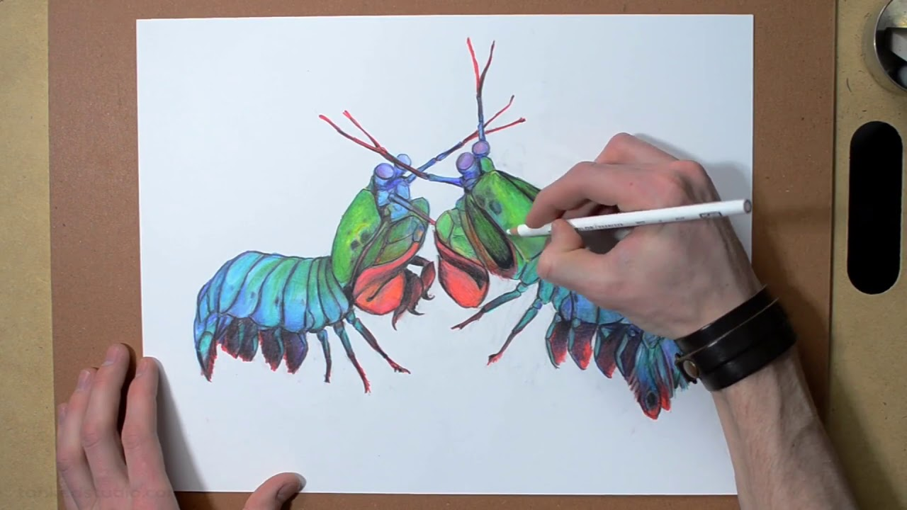 mantis shrimp time lapse drawing peacock mantis shrimp illustration youtube