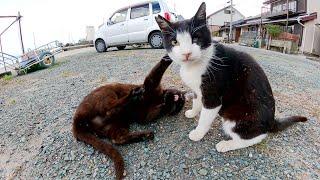 猫のプロレス対決!?島の漁港で仲良く戯れる黒猫とハチワレ猫