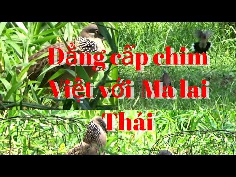 So sánh đẳng cấp chim Việt và chim Ma lai Thái
