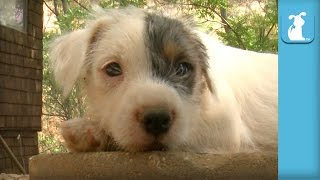 Cutest Parson Russell Terrier Puppies Bounce Around (Compilation)  Puppy Love