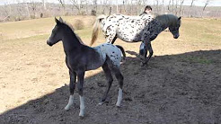 Popular Videos - Appaloosa Horse Club & Livestock - YouTube