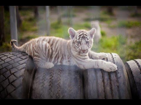 White tiger and haer puppy / Baltoji tigrė ir jos mažyliai
