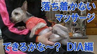 まだ7ヶ月の落ち着かないヨークシャテリアの子犬のダイアくんにマッサー...