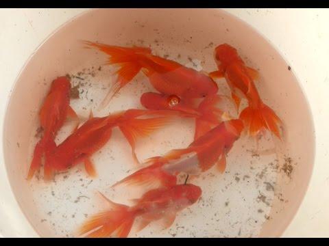Goldfish o bailarinas Reproducción - Parte 1