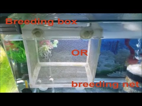 Fish Breeding Box Vs. Breeding Net. Keeping Guppy / Molly Fry In A Breeding Box Or Breeding Net