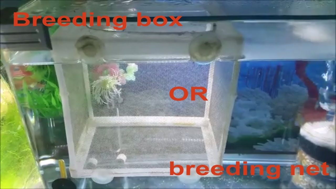 Fish breeding box vs breeding net keeping guppy molly for Fish breeding net