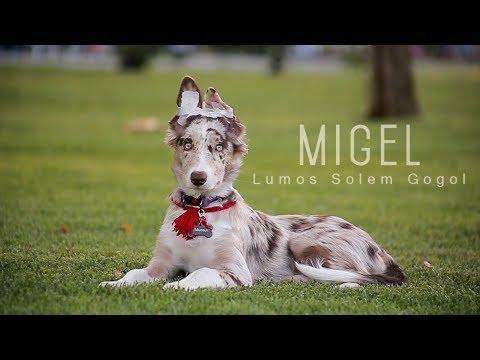 Migel - border collie tricks (4 month)