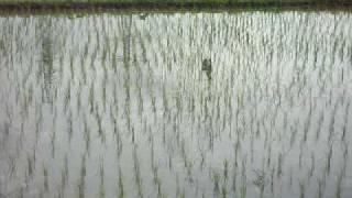 富士山のふもと、富士宮でカルガモ農法を実践する佐野さんの田んぼ。 こ...