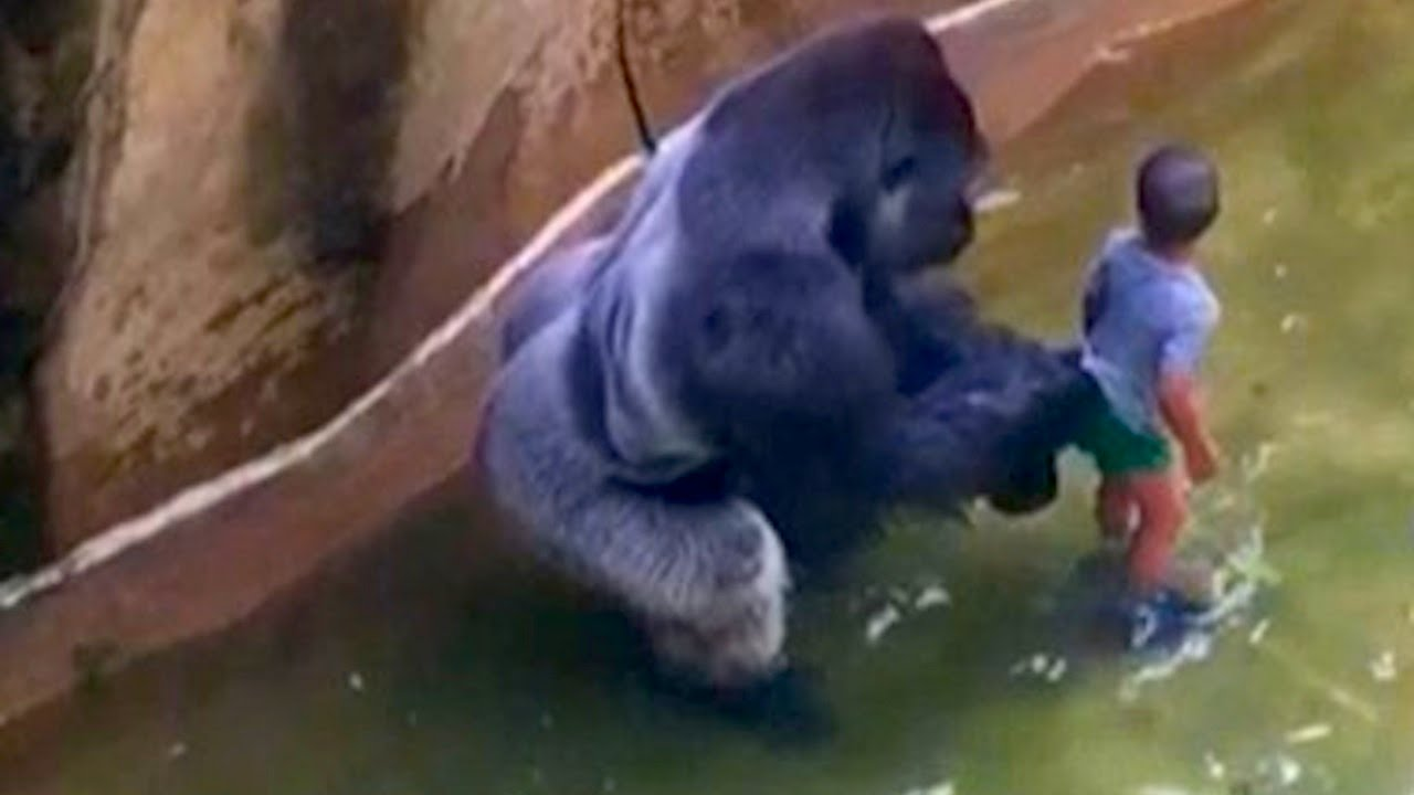 internet freaks out over harambe the gorilla what s trending now