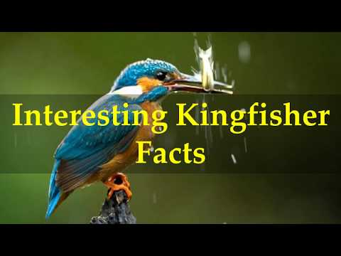 Interesting Kingfisher Facts