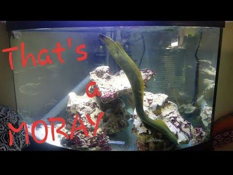 Green Moray Eel cleaning!!!!!!! Getting rid of Cyano
