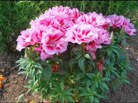 цветок годеция в фото