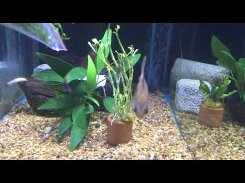 Which Fish Can You Mix With African Cichlids