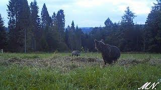 Niedźwiedź z dzikiem. Próba sił...