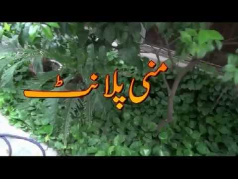 Growing A Money Plant In 2017| Money Plant Ka Khat | منی پلانٹ کا کھیت | Care Of Money Plant |