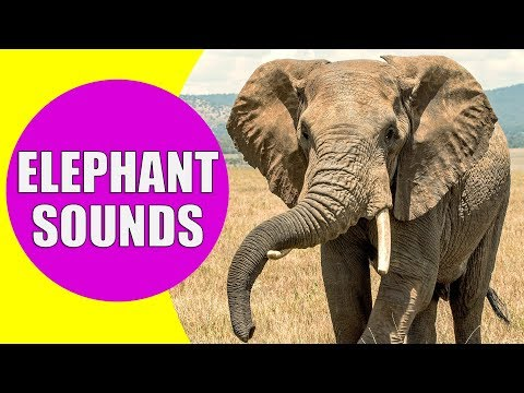 ELEPHANT SOUNDS FOR KIDS - Learn Trumpeting, Rumbling, and