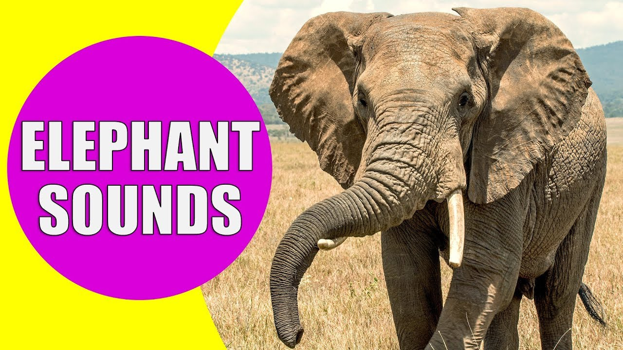 ELEPHANT SOUNDS FOR KIDS - Learn Trumpeting, Rumbling, and Roaring Sound  Effects of Elephants