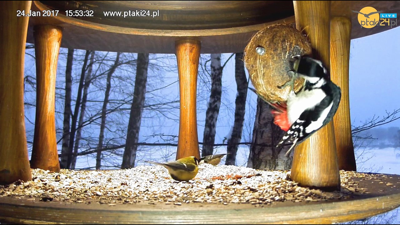 Samica dzięcioła dużego i sikory w karmniku nad Soliną