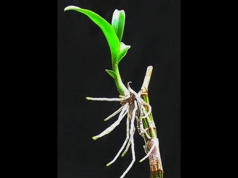Орхидея дендробиум. Как отделить детку у орхидеи.