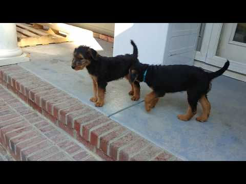 Back Porch Mr. Blue @ 9 Weeks Old AKC Purebred Airedale Terrier Puppy For Sale On November 18, 2018