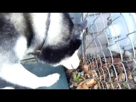 Siberian Husky Hunting For Mice